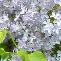 Få en smuk og blomstrende syrenhæk