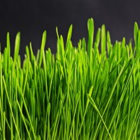 Med den rette type græsfrø får du hurtigt en flot og grøn plæne